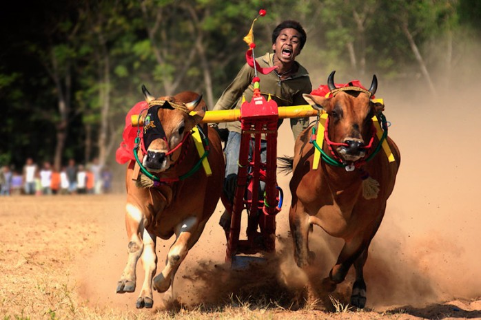 bull-race-in-madura-indonesia
